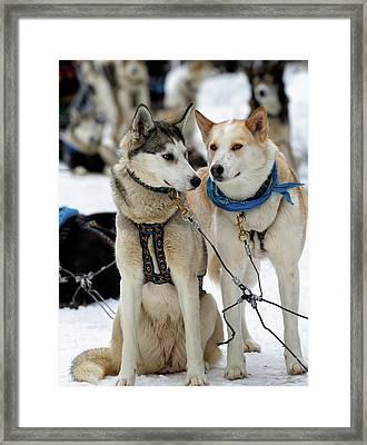 Sled Dogs Framed Print
