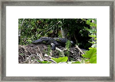 Framed Print featuring the photograph Sleeping Alligator by Barbara Bowen