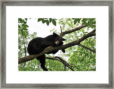 Sleeping Bear Framed Print by Whispering Feather Gallery