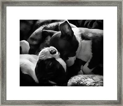 Sleeping Beauties - Boston Terriers Framed Print