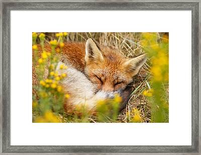 Sleeping Beauty - Sleeping Red Fox Framed Print by Roeselien Raimond