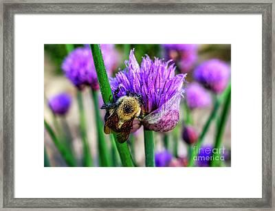 Sleeping Bumble Bee Framed Print by Thomas R Fletcher