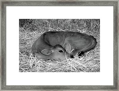 Sleeping Calf Framed Print
