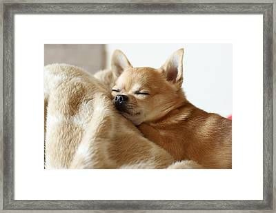 Sleeping Chihuahua Framed Print