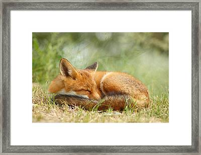Sleeping Cutie - Red Fox In The Grass Framed Print by Roeselien Raimond