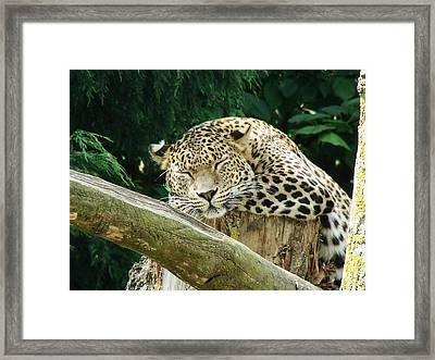 Sleeping Leopard Framed Print by Nicola Butt