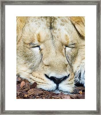 Sleeping Lion Framed Print by Colin Rayner