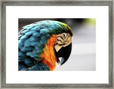 Sleeping Macaw Framed Print by Dan Pearce