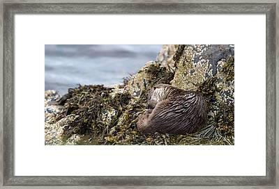 Sleeping Otter Framed Print
