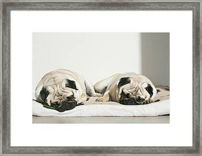 Sleeping Pug Dogs Framed Print