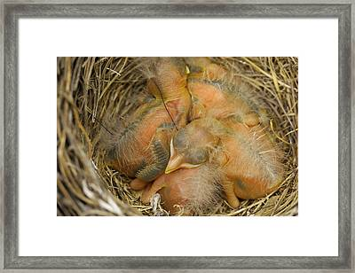 Sleeping Robins Framed Print by Jeff Swan