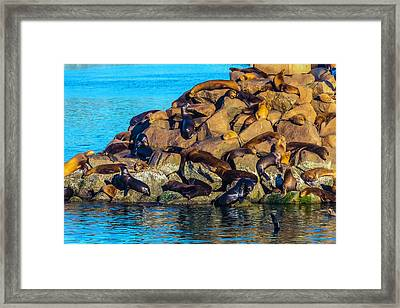 Sleeping Sea Lions Framed Print by Garry Gay