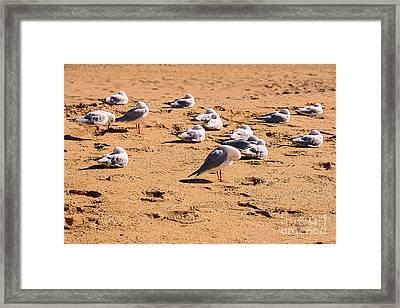 Sleeping Seagulls By Kaye Menner Framed Print by Kaye Menner