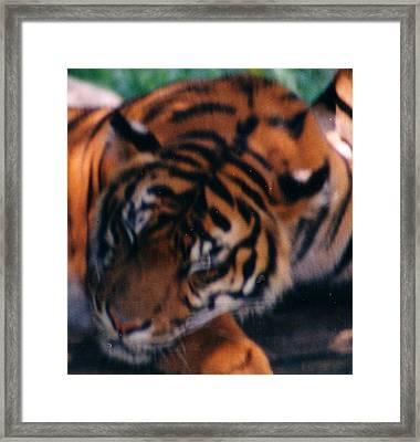 Sleeping Tiger  Framed Print by Steve  Heit
