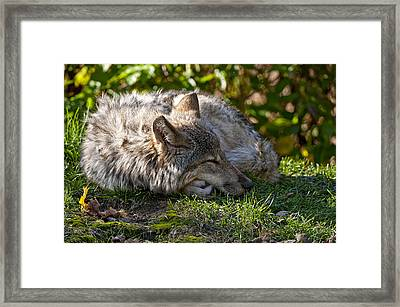 Framed Print featuring the photograph Sleeping Timber Wolf by Michael Cummings