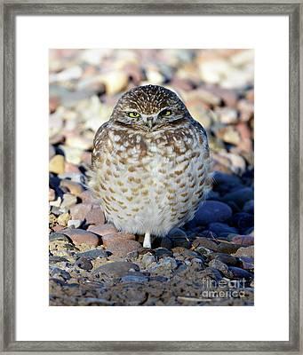 Sleepy Burrowing Owl Framed Print