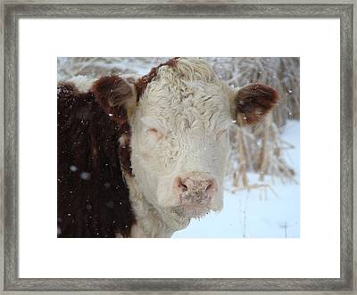 Sleepy Winter Cow Framed Print by Gothicrow Images