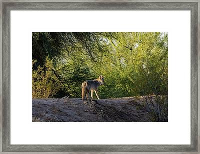 Sleepy Coyote Framed Print