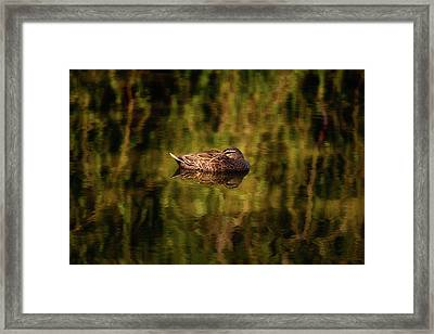 Framed Print featuring the photograph Sleepy Duck, Yanchep National Park by Dave Catley