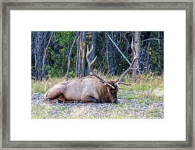 Framed Print featuring the photograph Sleepy Elk 2009 02 by Jim Dollar