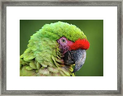 Sleepy Green Macaw Framed Print
