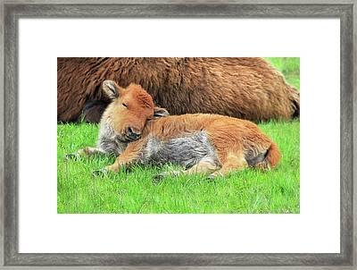 Sleepy Head Buffalo Calf Framed Print