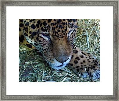 Sleepy Leopard Framed Print