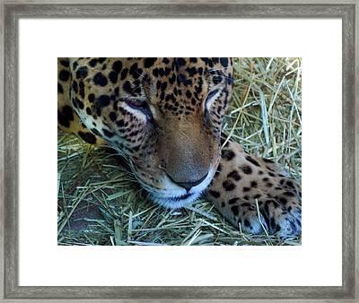Sleepy Leopard Framed Print by Lori Seaman