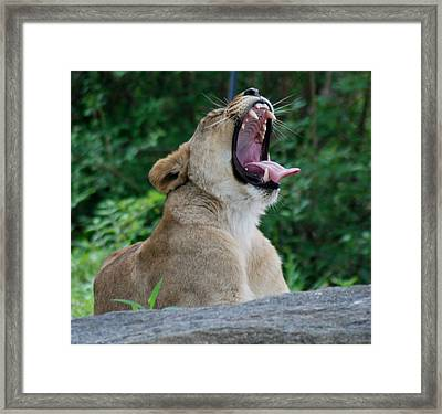Framed Print featuring the photograph Sleepy Lion by Richard Bryce and Family