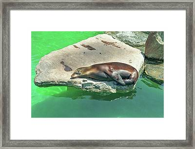Sleepy Sea Lion Framed Print