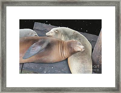 Sleepy Sea Lions Framed Print by Carol Groenen