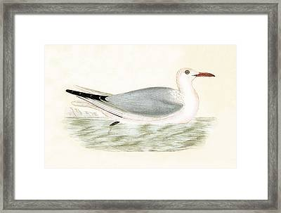 Slender Billed Gull Framed Print by English School
