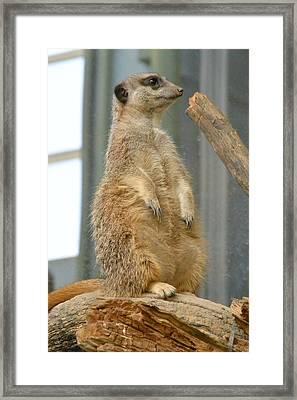 Slender Tailed Meerkat Framed Print