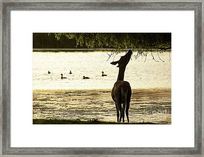 Framed Print featuring the photograph Slim Pickings  by Paul Farnfield