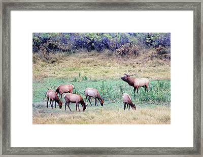 Slippery Ann Elk Framed Print