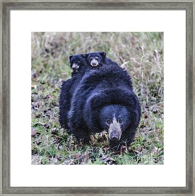Sloth Bear Mum With Two Tiny Cubs On Her Back Framed Print by Liz Leyden