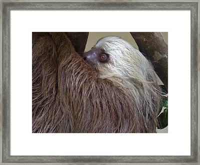 Sloth Framed Print by Dolly Sanchez