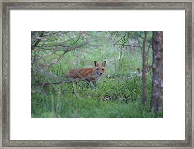 Sly Framed Print by Heidi Poulin