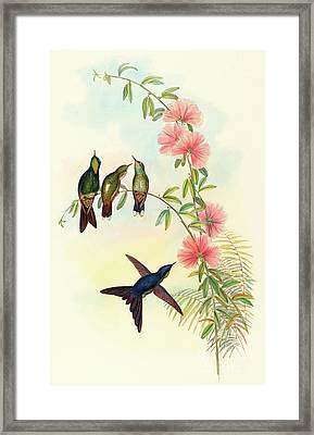 Small Billed Thornbill Framed Print by David Gould