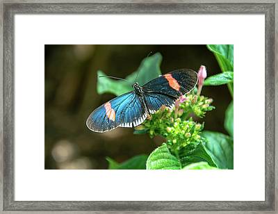 Small Black Postman Butterfly Framed Print