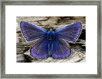 Small Blue Butterfly On A Piece Of Wood In Ireland Framed Print by Pierre Leclerc Photography