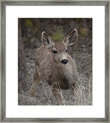 Small Fawn In Tombstone Framed Print by Colleen Cornelius