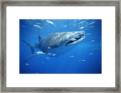 Small Fish Swim Along With A Whale Framed Print