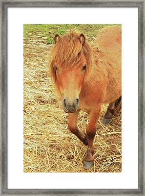 Small Horse Large Beauty Framed Print by Karol Livote