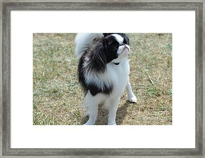Small Japanese Chin Dog Looking Up  Framed Print by DejaVu Designs