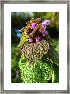 Small Mauve Flowers 7 Framed Print by Jean Bernard Roussilhe