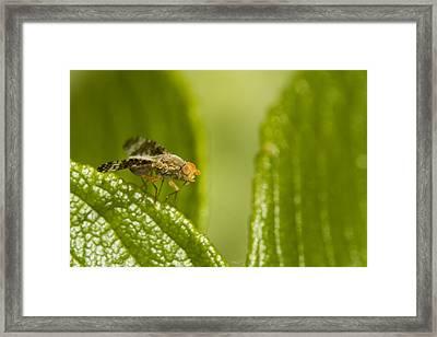 Small Orange Fly Framed Print by Jouko Mikkola