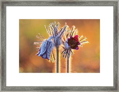 Framed Print featuring the photograph Small Pasque Flower, Pulsatilla Pratensis Nigricans by Davor Zerjav