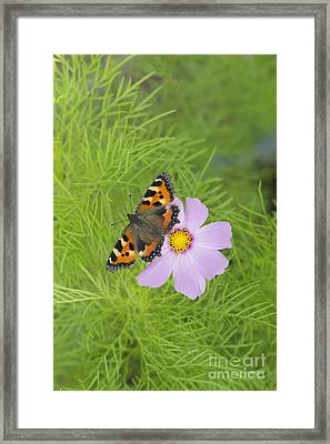 Small Tortoiseshell  Framed Print by Tim Gainey