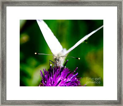 Small  White Cabbage Butterfly Pieris Rapae Framed Print by Chris Smith